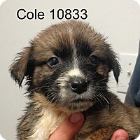 Adopt A Pet :: Cole - baltimore, MD