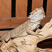 Lizard for adoption in Manhattan, Kansas - Bowser