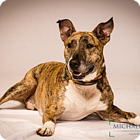Bull Terrier Mix Dog for adoption in Norwalk, Connecticut - Simon