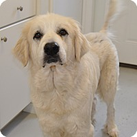Adopt A Pet :: Lady GaGa - Pacific, MO