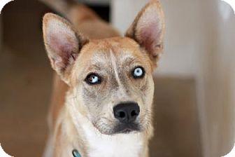 Siberian Husky/Australian Cattle Dog Mix Dog for adoption in Kyle, Texas - NADYA