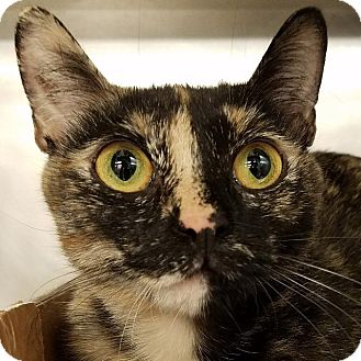 Domestic Shorthair Cat for adoption in New York, New York - Coral