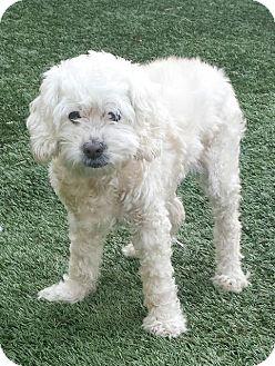 Cocker Spaniel/Poodle (Standard) Mix Dog for adoption in Manhattan Beach, California - Rosie