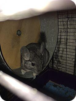Chinchilla for adoption in Aurora, Illinois - Rosie
