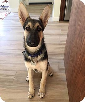 German Shepherd Dog Dog for adoption in Mira Loma, California - Lana