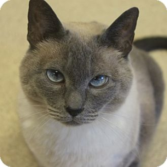 Siamese Cat for adoption in Naperville, Illinois - Misty