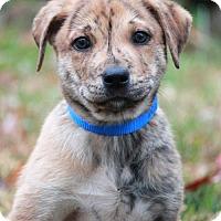 Adopt A Pet :: Trey - Lee's Summit, MO