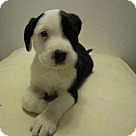 Adopt A Pet :: Baby Oreo