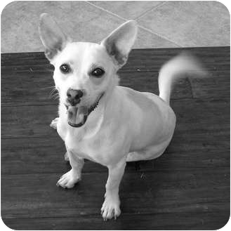 Corgi/Chihuahua Mix Dog for adoption in Lake Forest, California - Buster