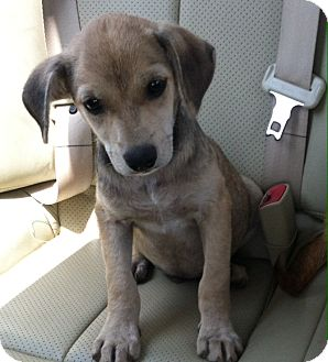 Terrier (Unknown Type, Medium)/Beagle Mix Puppy for adoption in MILWAUKEE, Wisconsin - LARRY
