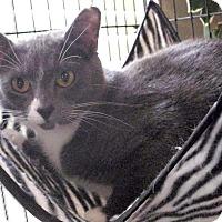 Adopt A Pet :: Bengal - Chattanooga, TN
