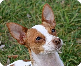 Rat Terrier/Chihuahua Mix Dog for adoption in Winters, California - Hunter
