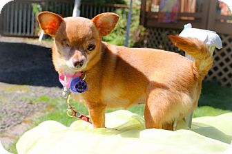 Chihuahua Dog for adoption in Eugene, Oregon - Oona