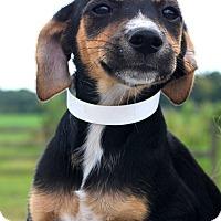 Adopt A Pet :: Fritz~meet me! - Glastonbury, CT