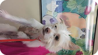 Terrier (Unknown Type, Small) Mix Dog for adoption in LAKEWOOD, California - Mandy
