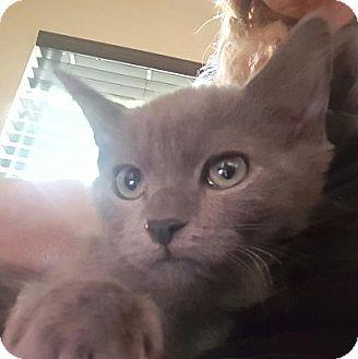 Russian Blue Kitten for adoption in Woodland Hills, California - Kobe