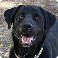 Labrador Retriever/Border Collie Mix Dog for adoption in Phoenix, Arizona - Carson