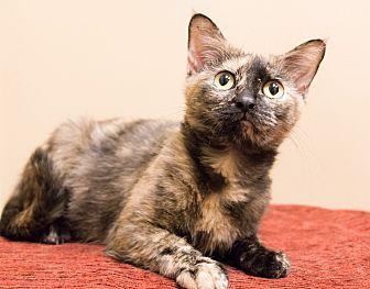 Domestic Shorthair Cat for adoption in Chicago, Illinois - Theodora