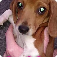 Adopt A Pet :: Poppy - Garden City, MI