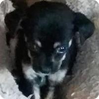 Adopt A Pet :: Dikiki - Austin, TX