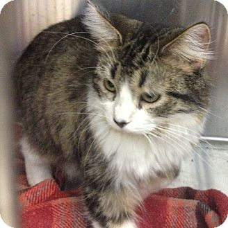 Domestic Longhair Cat for adoption in Schererville, Indiana - Fluffy