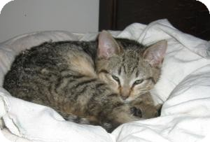 Domestic Shorthair Kitten for adoption in Brooklyn, New York - MONDAY
