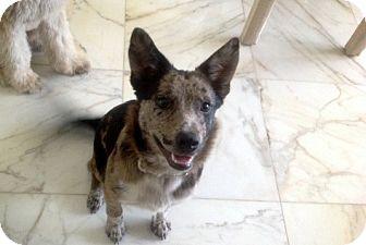 Mattie Adopted Dog Bedford Va Blue Heeler