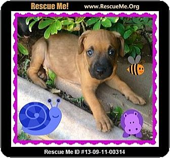 Labrador Retriever/Boxer Mix Puppy for adoption in Scottsdale, Arizona - Missy