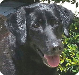 Labrador Retriever Mix Dog for adoption in Orlando, Florida - Georgie