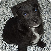 Adopt A Pet :: spaniel mix puppies - Washington, PA