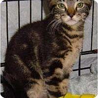 Domestic Shorthair Cat for adoption in Sherman Oaks, California - Felix