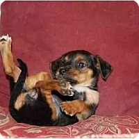 Adopt A Pet :: Snickers - Chula Vista, CA