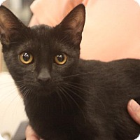 Domestic Shorthair Cat for adoption in Chino, California - Joe