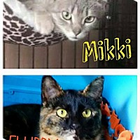 Domestic Shorthair Cat for adoption in Grand Blanc, Michigan - Mikki