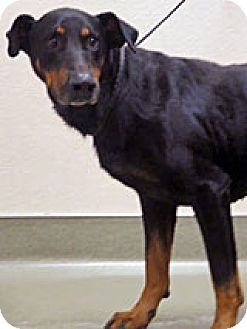 Rottweiler mix dog for adoption in wildomar california 267707