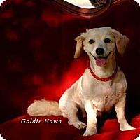 Adopt A Pet :: Goldie Hawn - Austin, TX