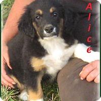 Adopt A Pet :: AliceADOPTION PENDING - Marlborough, MA