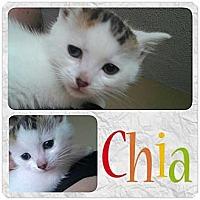 Adopt A Pet :: Chia (Cha Cha) - Rosamond, CA