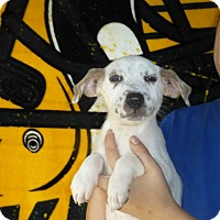 Adopt A Pet :: Diamond - Oviedo, FL