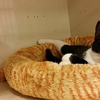Domestic Shorthair Kitten for adoption in Westbury, New York - TC