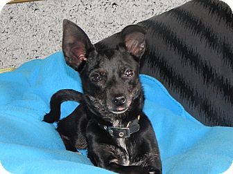 Dachshund/Chihuahua Mix Dog for adoption in Lodi, California - Jack