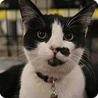 Domestic Shorthair Cat for adoption in Rosamond, California - Gertie