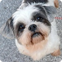 Lhasa Apso Mix Dog for adoption in Houston, Texas - Bethany Harris
