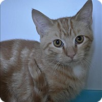 Domestic Shorthair Kitten for adoption in Hyde Park, New York - Fiyero