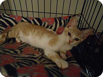 Domestic Shorthair Kitten for adoption in Central Islip, New York - Alex