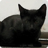 Domestic Shorthair Kitten for adoption in Naugatuck, Connecticut - Kody