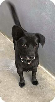 Dachshund/Chihuahua Mix Dog for adoption in Staunton, Virginia - Sweetums
