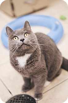 Domestic Shorthair Cat for adoption in Parma, Ohio - Samantha