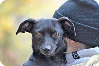 Dachshund Mix Dog for adoption in Brooklyn, New York - Charlie Heaton