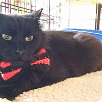 Domestic Mediumhair Cat for adoption in Jersey City, New Jersey - Jackie